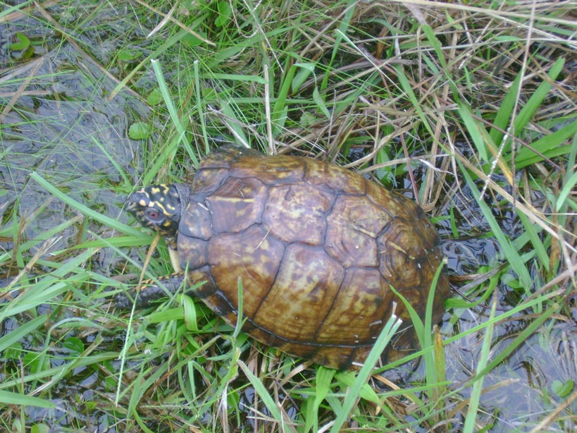 Eastern-Box-Turtle-Terrapene-carolina-carolina